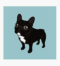 Brindle Frenchie likes to go for a walk to meet some friends Photographic Print