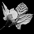 Fig leaves. by Paul Pasco