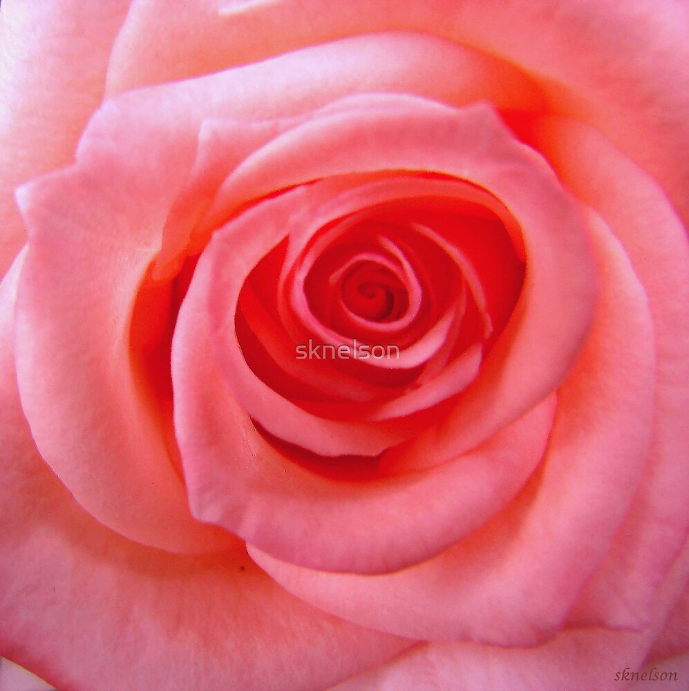 It's All About the Rose by sknelson