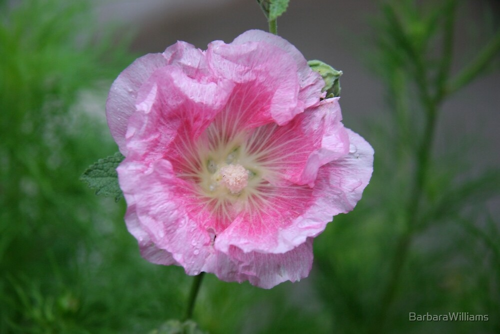 In The Pink by BarbaraWilliams