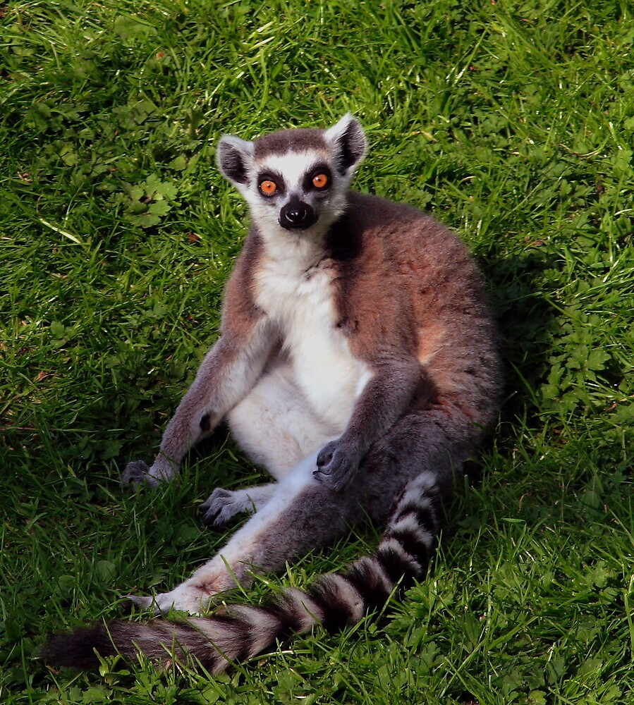 Ring Tailed Lemur by kitlew