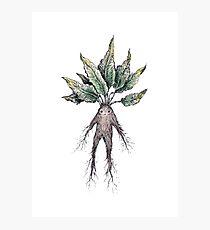 Mandrake  Photographic Print