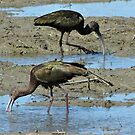 White-faced Ibis - Yolo Bypass Wildlife Area, Yolo County, CA by Rebel Kreklow