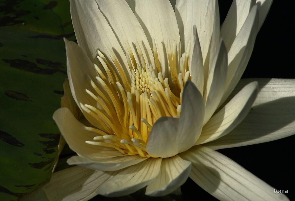 lotus by toma