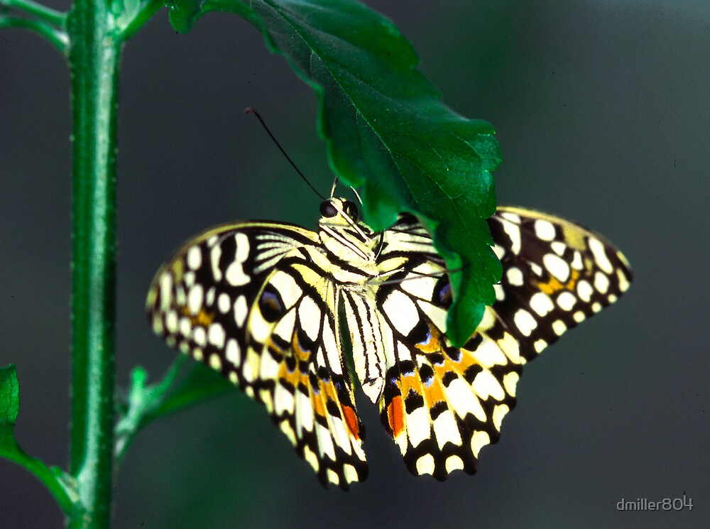 Checkered Swallow Tail by dmiller804