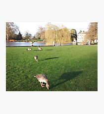 Hungry Canadian & Egyptian Geese  Photographic Print