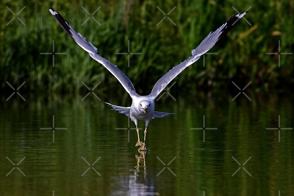 Seagull walks on water by Jim Cumming