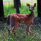 Whitetail Deer in the Morning Light by Bine