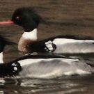 Red-Breasted Merganser's by Thomas Murphy