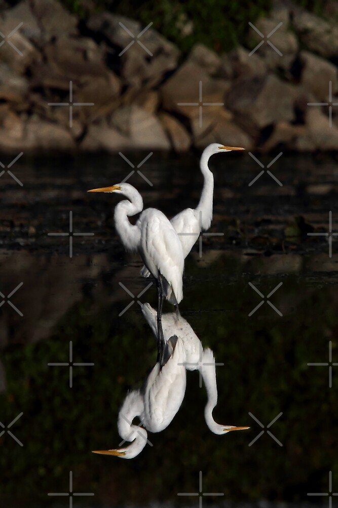 Reflective Moment - Great Egrets by Jim Cumming