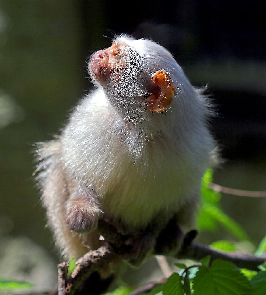 Silver Marmoset Looks up at the Sun by kitlew