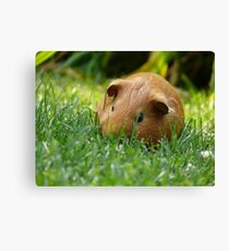 Guinea Pigs on the Lamb Canvas Print