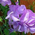 Lovely Lilac Sweet Peas by BlueMoonRose