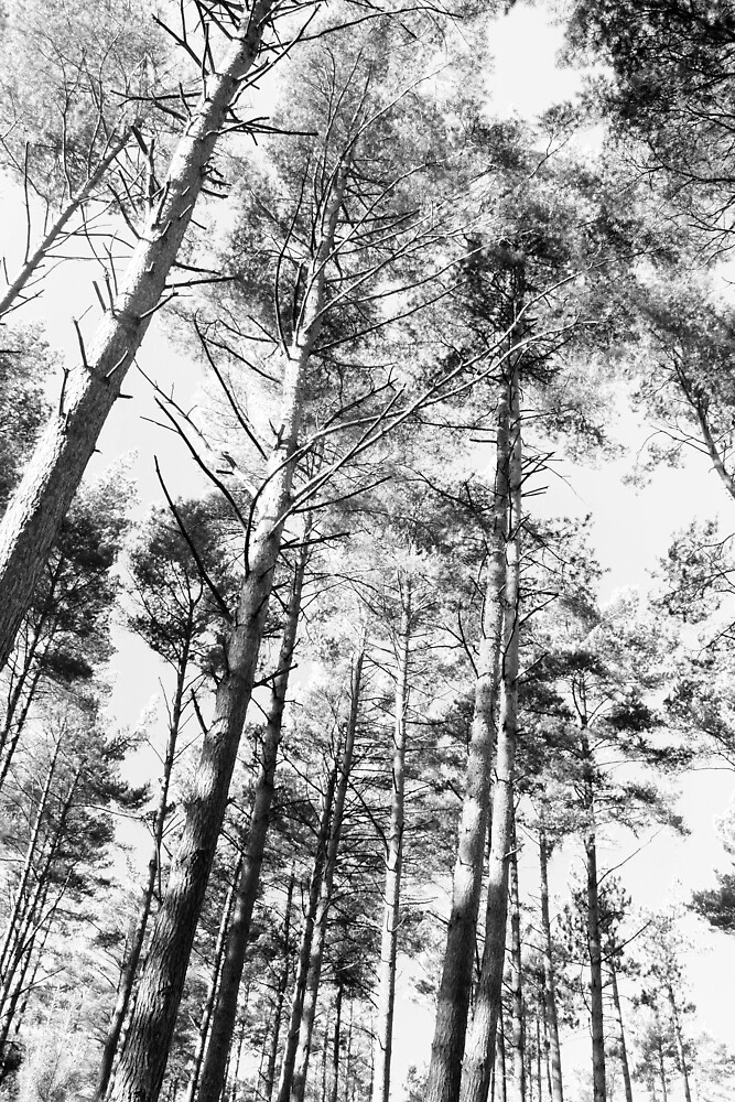 Towering Pines by DJ Fortune