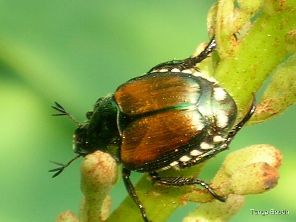 Beetle by Tanya Boutin