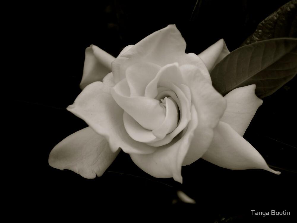 White Rose by Tanya Boutin