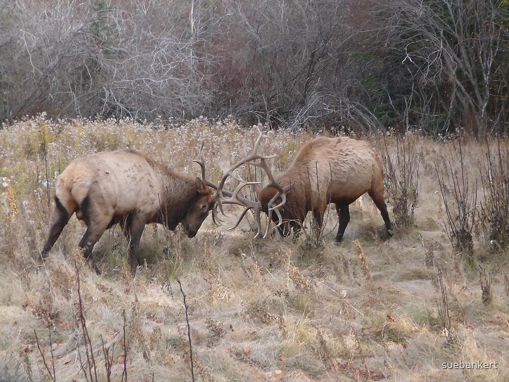 Fighting Elk by suebankert