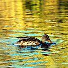 Golden Duck by Sean Jansen