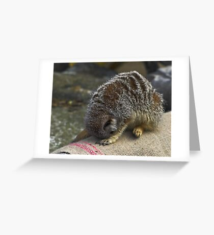 98, 99, 100 - Meercat Coming Ready Or Not Greeting Card