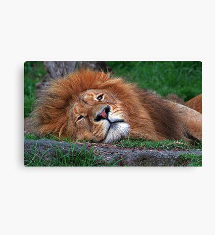 Laid Back Lion Canvas Print
