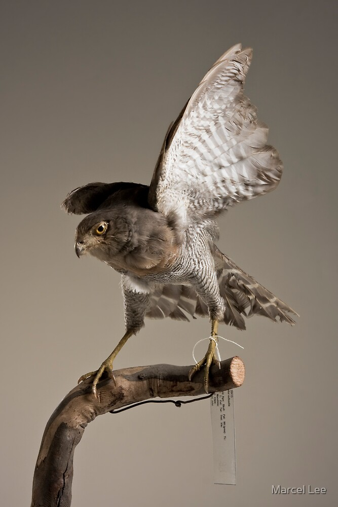 Barred Forest Falcon by Marcel Lee