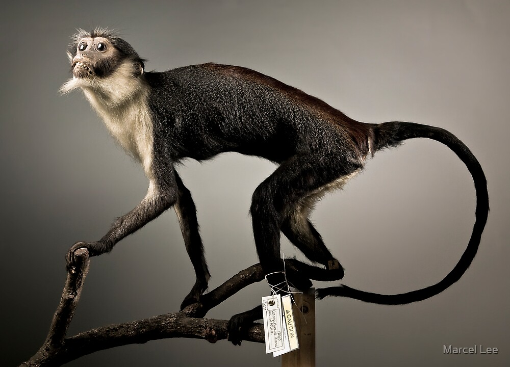Diana's Monkey by Marcel Lee