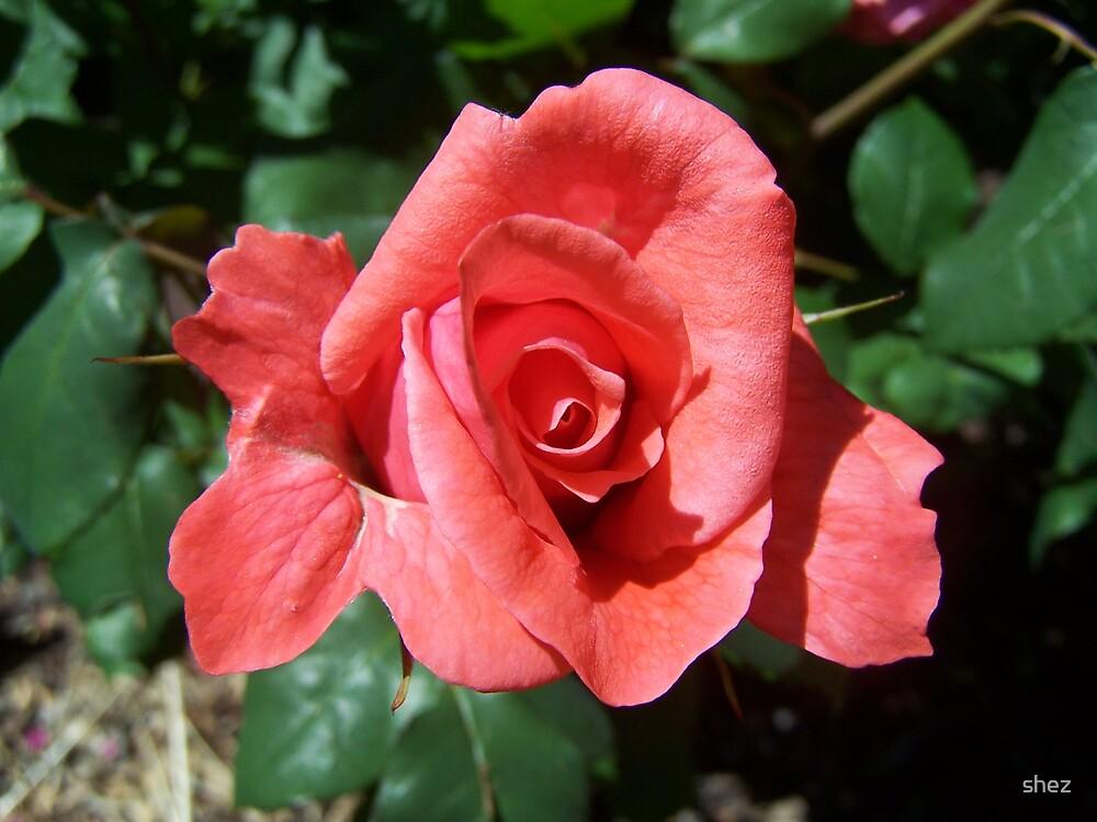 Beautiful Rose by shez
