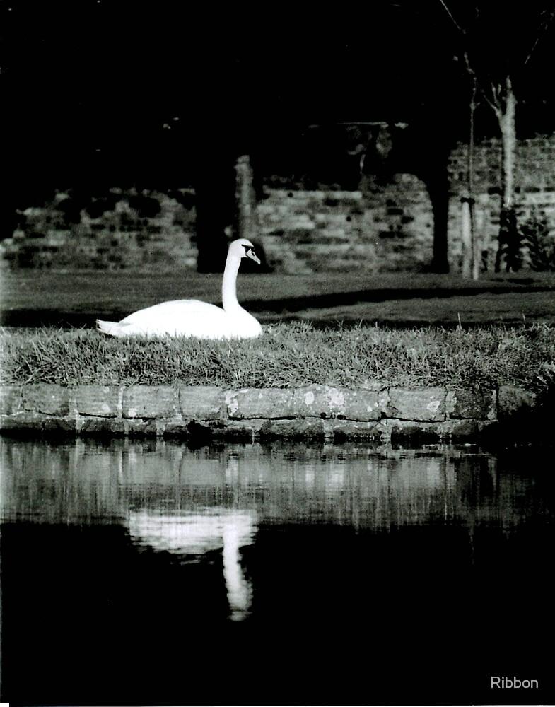 Swan Reflection by Ribbon