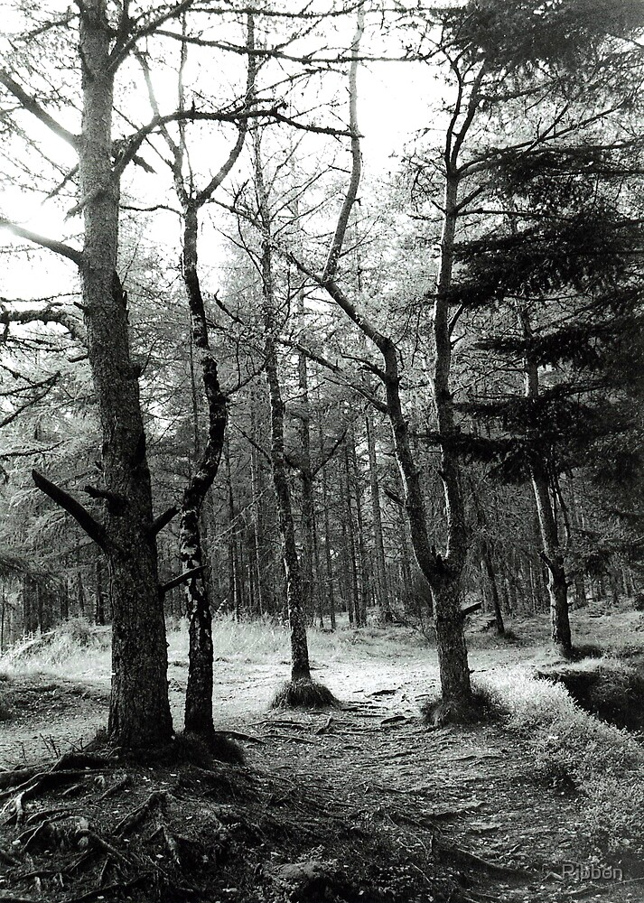 Scottish Pine Forest by Ribbon