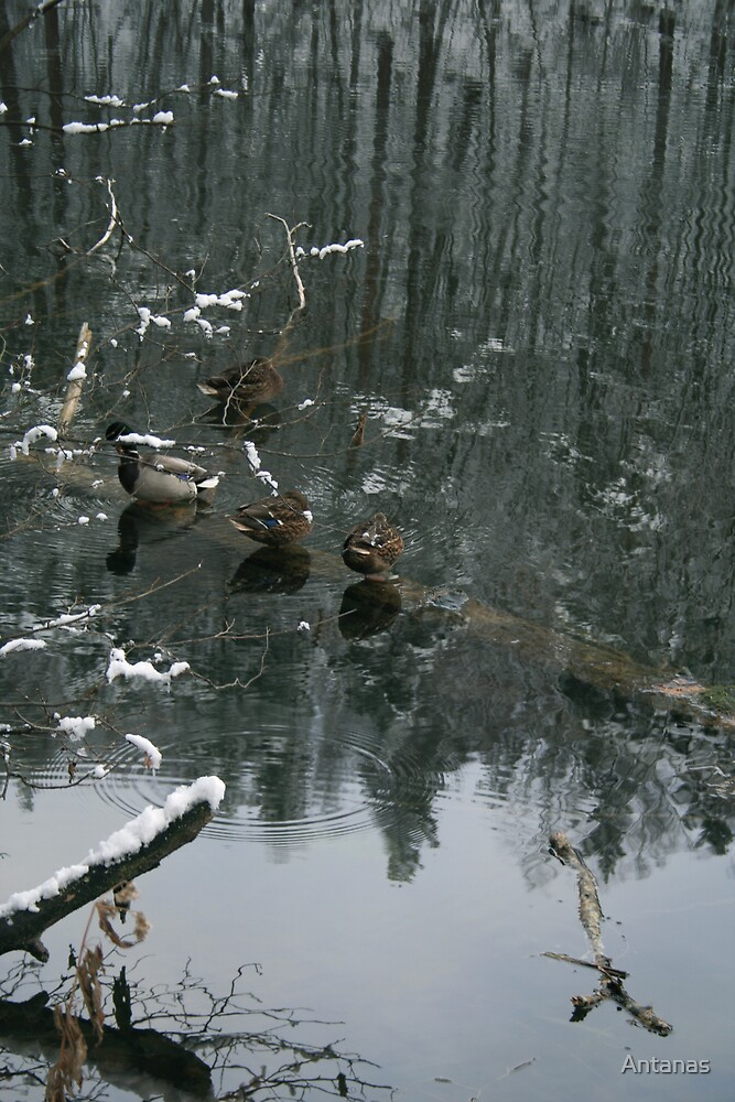 Ducks in the winter reflection by Antanas