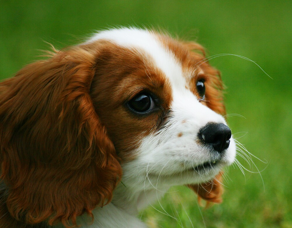 Cavalier King Charles by Martyn Starkey