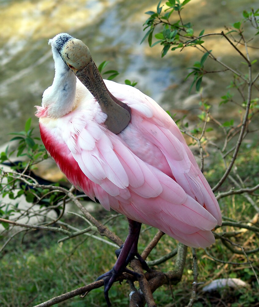 Roseate Spoonbill by dewinged