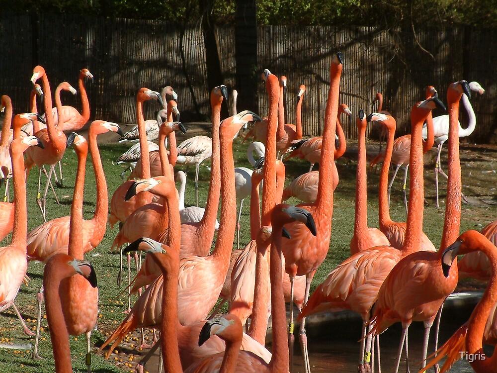 Red necks by Tigris