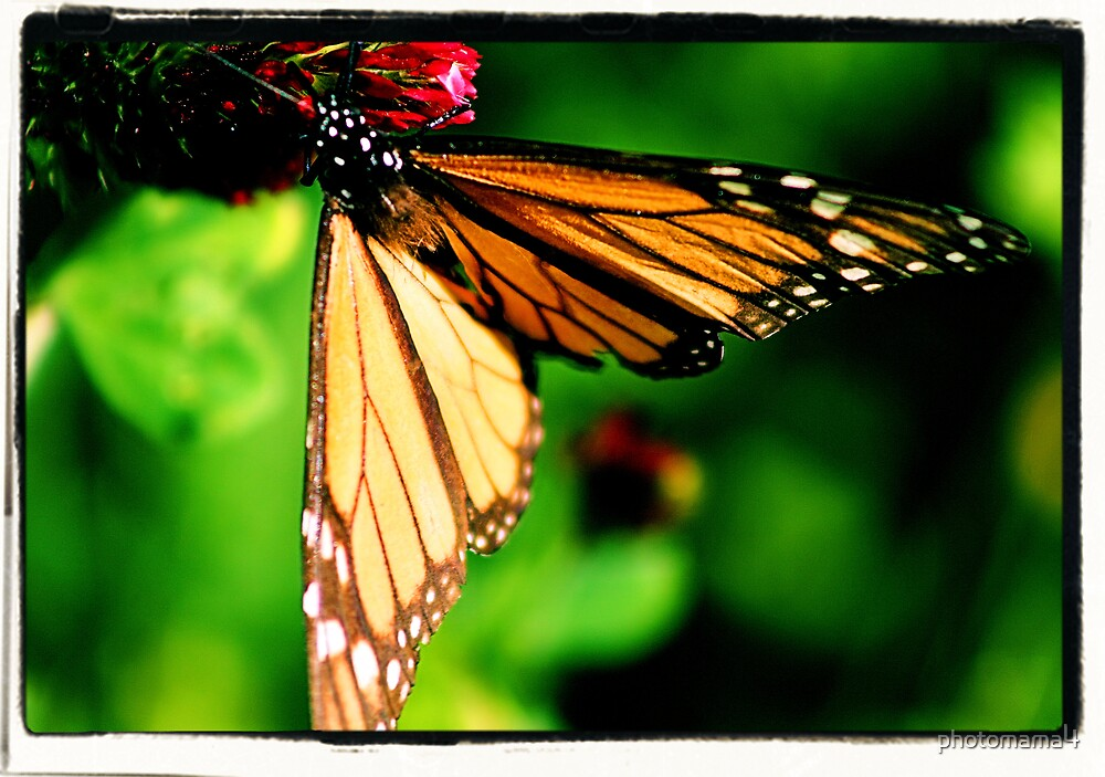 Butterfly by photomama4
