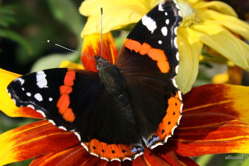 Butterfly wings on Rudbekia by allisond