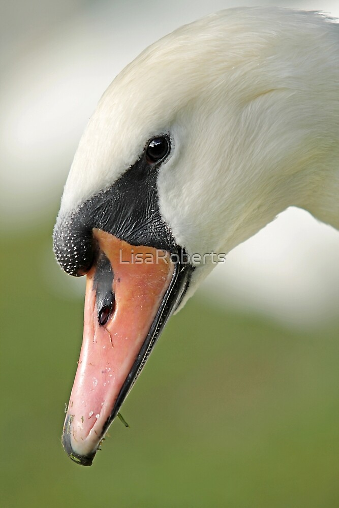 Swan up close by LisaRoberts