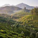 Tea plantation, Devikolam, Munnar by Guy  Berresford