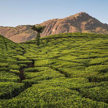 Tea plantation, Munnar by berrega