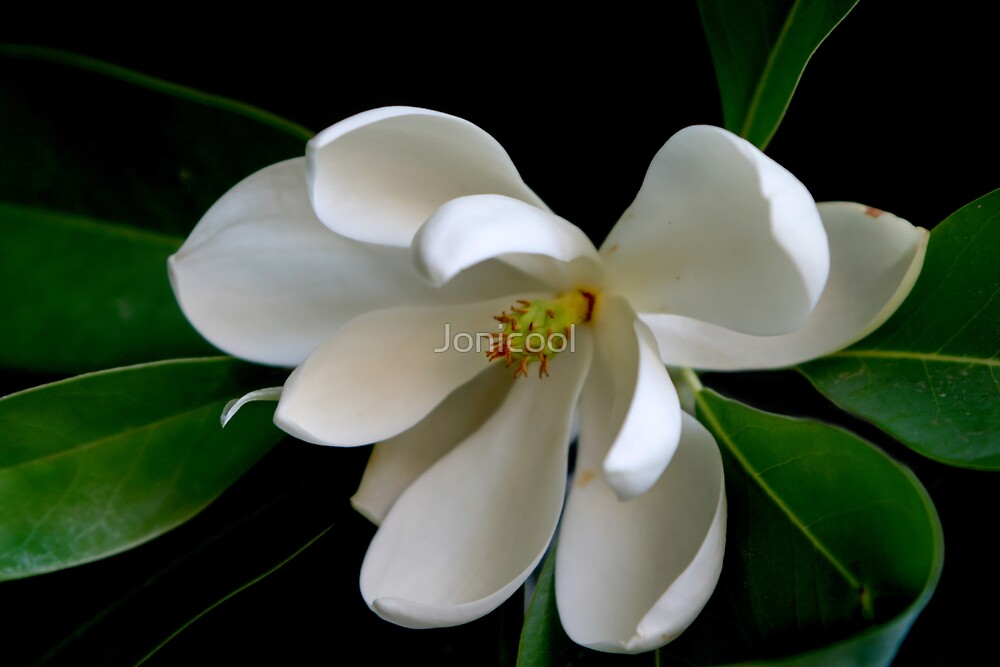 Sweet Bay Magnolia  by Jonicool
