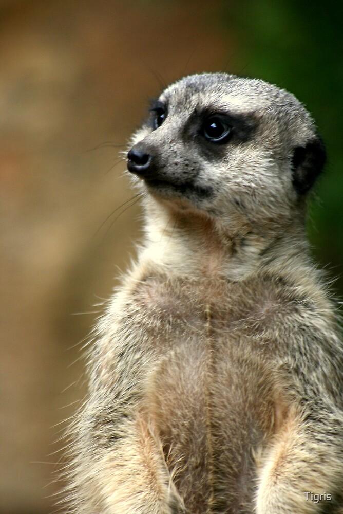 Meerkat by Tigris
