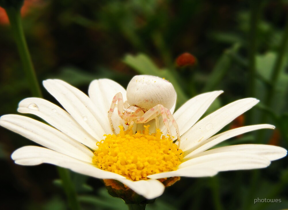 White crab spider on daisy.   ( Thomisus.  spe. ) by photowes