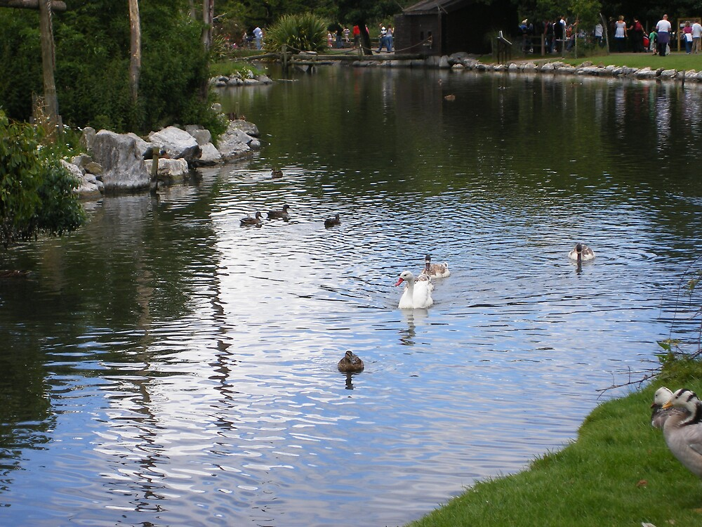 Ducks in a pond by Patrick Ronan