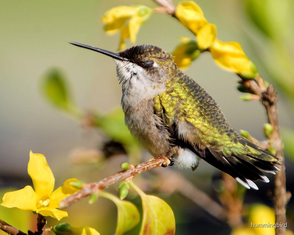 Humming Still by hummingbird