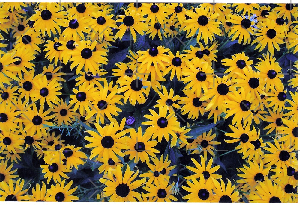 Sea of Black Eyed Susan's by mikrin