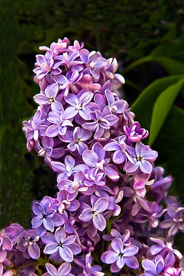 I Dream Of Lilacs by Heather Friedman