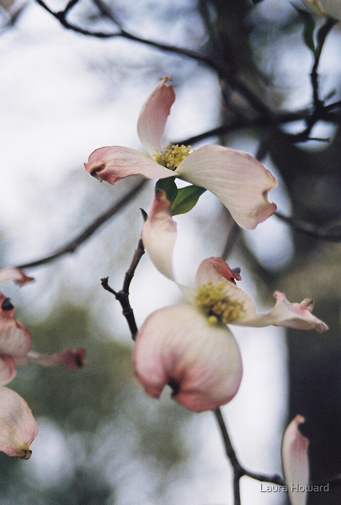 Pink Dogwood by Laura Howard