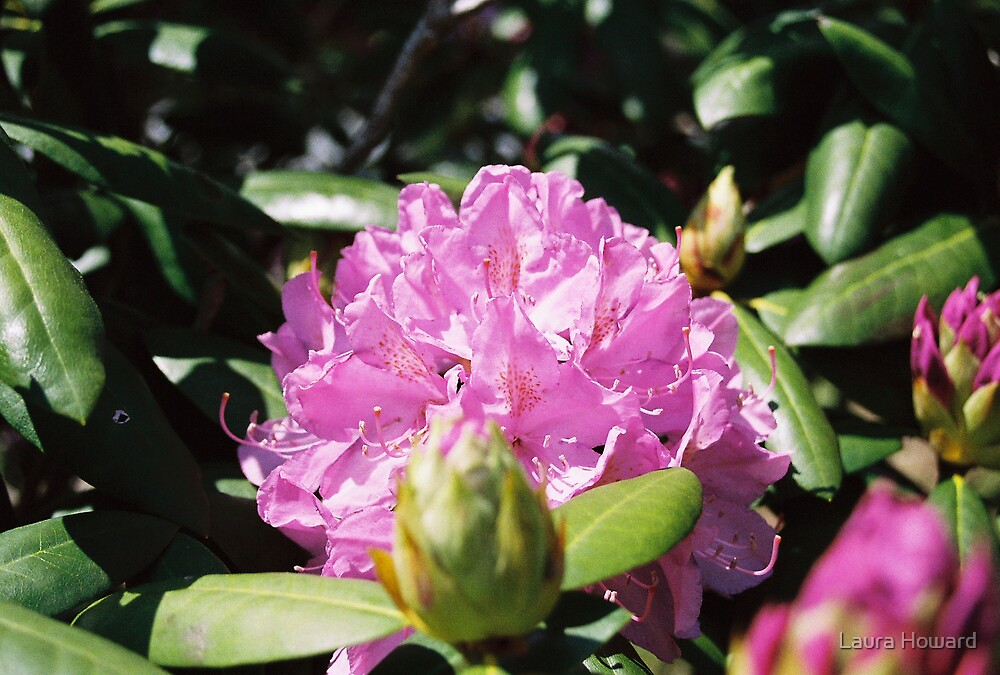 Rhodedendron by Laura Howard