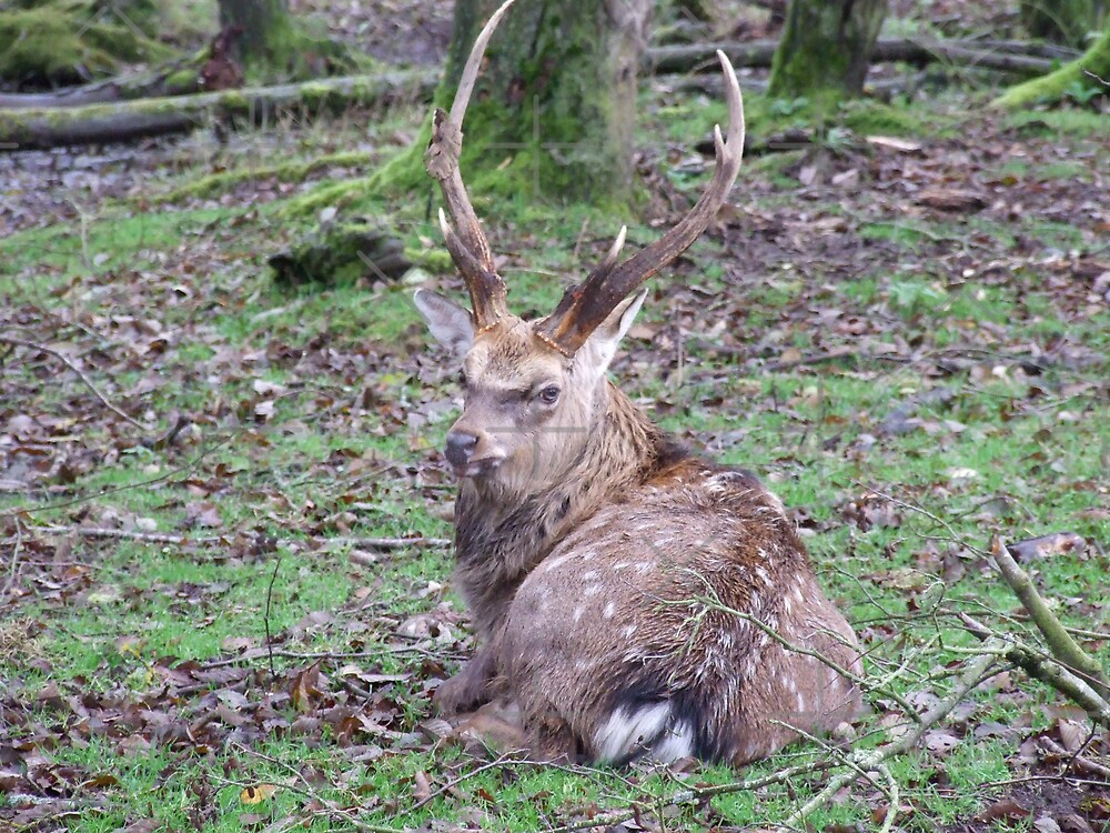 Wild Deer by karl  lee