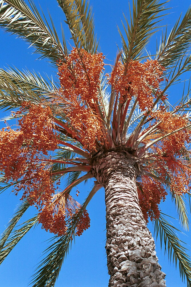 Date Palm in Winter - Valencia Spain by Dede