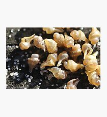 Conch shell babies - 2017 Photographic Print